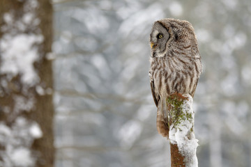 Fototapete - Great Grey Owl on tree trunk