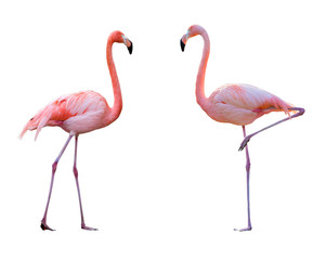 Fototapeten Flamingo Couple de flamant rose