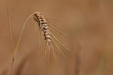 A close up of a ripe wheat ear