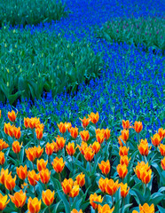 Field filled with spring flowers such as tulips and muscari