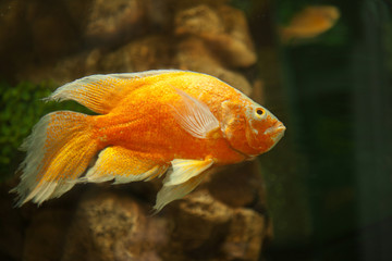 Golden fish in aquarium