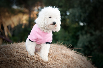 Sweet dog dressed in pink