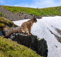 Snow leopard  on rocky