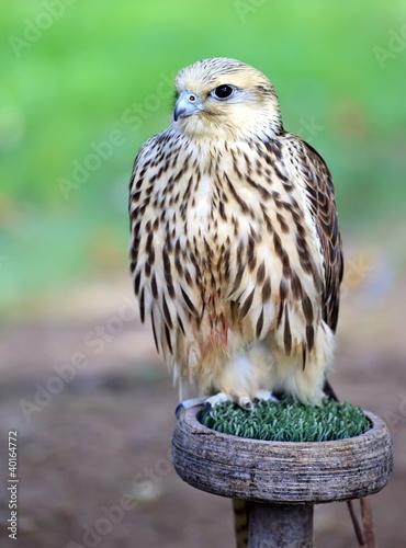 Peregrine Falcon: açıklama ve fotoğraf 89