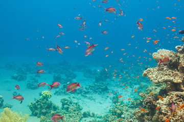 Scalefin anthias fish and corals in the sea