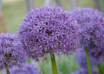 Allium hollandicum purple sensation flower