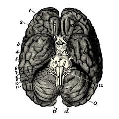 Cerveau Human