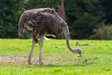 Foto auf AluDibond Straus Ostrich in the wildlife park