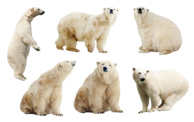 Set of polar bears. Isolated over white
