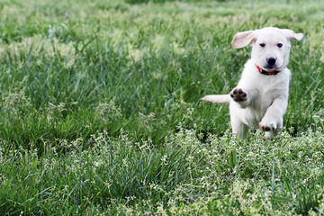 English Cream Labrador Retriever - Golden Retriever