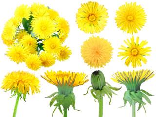 Set of yellow dandelion-flowers