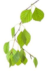 Birch twig in backlight