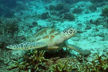 Meeresschildkröte bei den Feuerkorallen