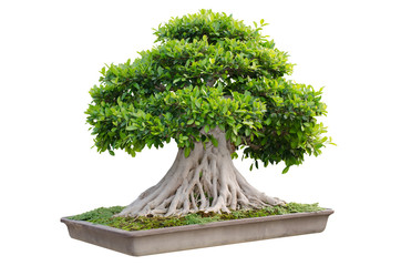 Bonsai tree in a pot isolated on white background