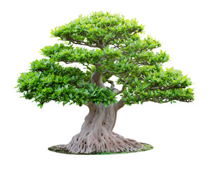Big bonsai tree isolated on white background