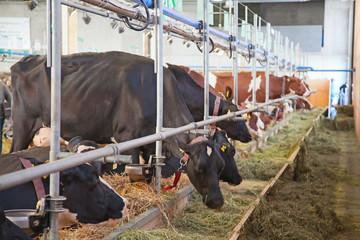 swiss cow farm