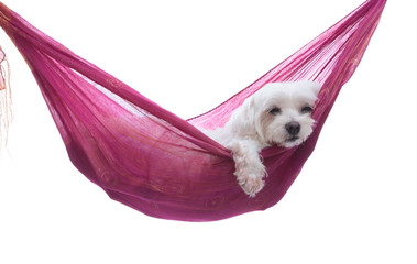 Wall Mural - Just hanging around - puppy dog in hammock