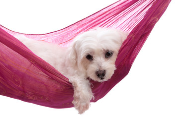 Wall Mural - Pampered puppy lying in hammock