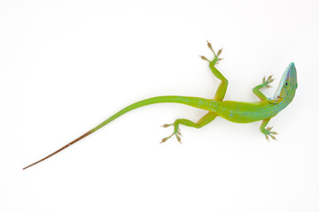 Carolina anole (Anolis carolinensis, red-throated anole)
