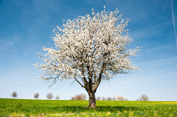 Blossoming Cherry Tree in Spring