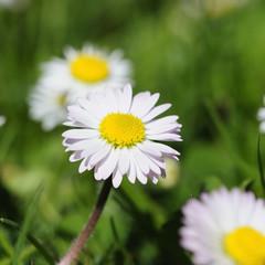 daisy 23