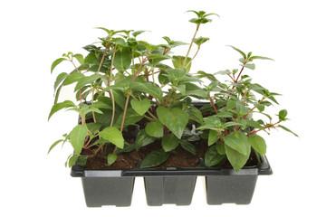 Fuscia seedlings