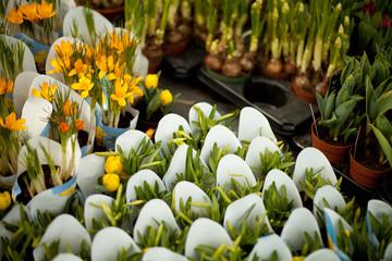 Fototapeta kwiaty sklep cebulki wiosenne krokus zonkil tulipan obraz