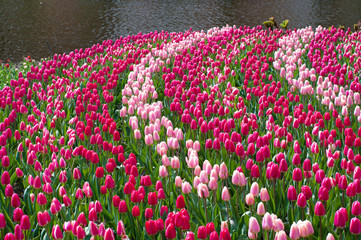 field of tulips