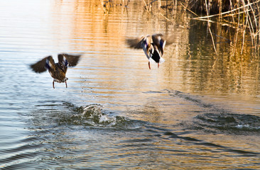couple of mallards starting to fly