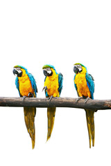 Wall Mural - Blue-and-Yellow Macaw isolated