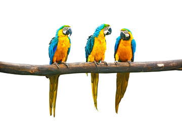 Wall Mural - Talking parrots Blue-and-Yellow Macaw