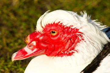 Rot Kopf Ente am See