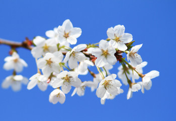 Cherry blossom against