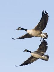 Pair Flying Geese
