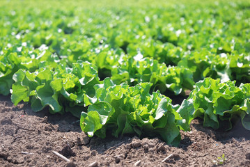 isolated plant of salad in countryside