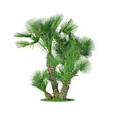 Papiers peints Palmier palmier Chamaerops humilis