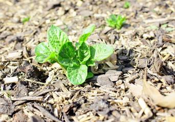 croissance d'un plant de pomme de terre