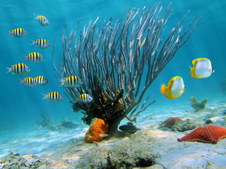 Sea rod coral on sandy seabed with colorful tropical fish underwater sea, Caribbean, Dominican Republic