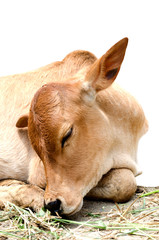 Close up of sleeping Thai blown cow don't worry.