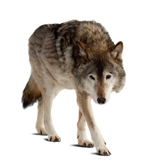 Poster de jardin Loup wolf. Isolated over white