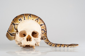 Python crawling over the human skull isolated on gray