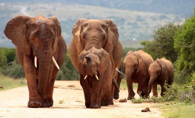 A herd of Elephants approaching