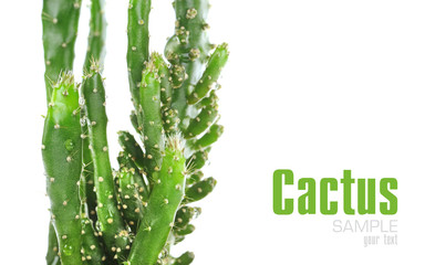 Cactus isolated on the white background