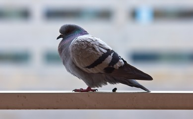 Pigeon in a rail doing its thing, concept for bad luck.