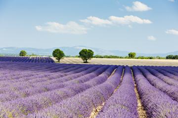 Obraz Pole lawendy, Plateau de Valensole, Prowansja, Francja - fototapety do salonu
