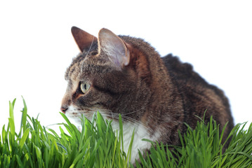 Adult cat in grass