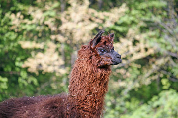 alpaca with the body covered with soft woolly curls