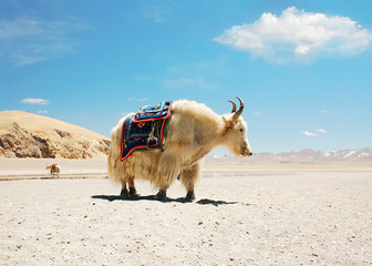 White Tibetan yak