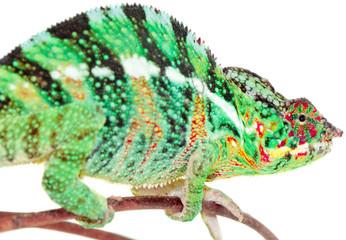 chameleo pardalis, caméléon panthère, Réunion