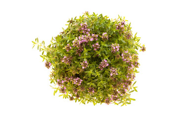 Thyme Plant In Bloom Isolated